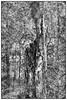 Abstract forest (unukorno) Tags: putbus mecklenburgvorpommern deutschland vilm tree forest wood frame rahmen baum wald abstrakt surreal sw bw monochrome einfarbig blackwhite