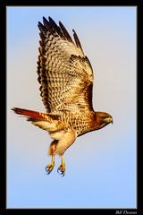 Red-tailed Hawk-1 (billthomas_steel) Tags: wildlife redtailedhawk bird britishcolumbia fraservalley canada canon eos7dmarkii raptor male buteojamaicensis