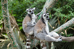 Ring-tailed Lemur (Lemur catta) (Seventh Heaven Photography) Tags: ringtailed lemur catta ring tailed animal mammal primate strepsirrhini lemuriforme nikond3200 melbourne zoo victoria australia lemuridae omnivore lemurs