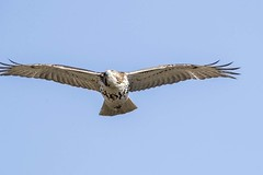 RED-TAILED HAWK (nsxbirder) Tags: redtailedhawk cowanlake clarksville ohio clintoncounty
