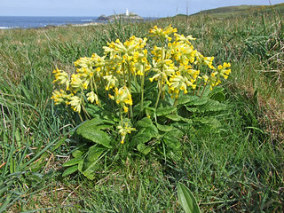 Cowslips and Godrevy Island