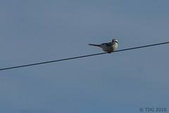 20180127-IMG_1885 (tdg734) Tags: abalist birds campbellst huroncounty michigan northernshrike shrikes unitedstates