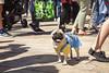 Pug Fest (LindseyBards photography) Tags: pug dog fest manchester canon 5d mark ii