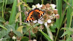 DSCN6632 (KevBar2000) Tags: butterfly bramble insect