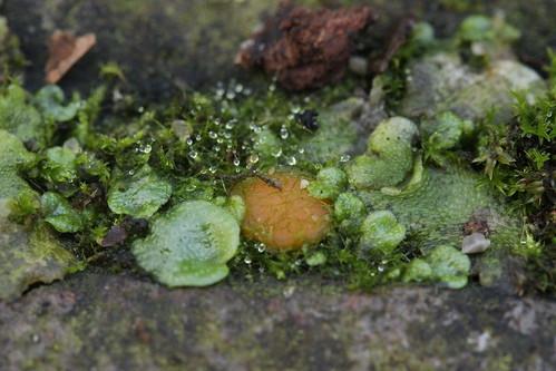 Octosporiopsis nicolai on crescent-cup liverwort - Lunularia cruciata