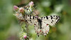 Eastern Festoon - Zerynthia cerysi (jaytee27) Tags: bulgaria easternfestoon zerynthiacerysi naturethroughthelens