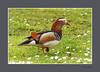 MANDARIJNEEND (FotoRoelie.nl) Tags: watervogels mandarijneend eenden
