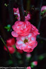 double quince (1 of 1) (Oregon Coastal Flowers) Tags: double quince pink