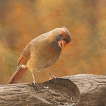 female cardinal art thumbnail