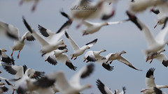 snow geese (johnbacaring) Tags: snow geese snowgeese birding birds wildlife nature migration winter winteringgeese