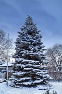 We Do Love Our Blue Spruce