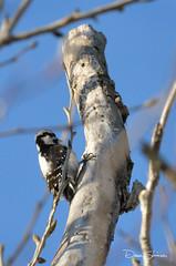 Cosumnes Bird Count 08 (Dave Skinner Photography) Tags: cosumnes river preserve bird birding oak tree hawk heron downy woodpecker robin train deer