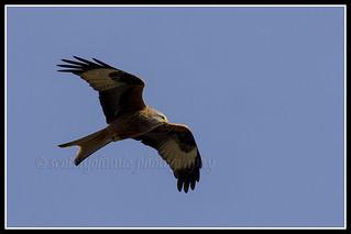 IMG_0159 Red Kite