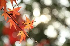 IMG_4617 (jumppoint5) Tags: bokeh blur autumn leaves red orange hiroshima japan mitaki