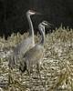 2I1A7116a (lfalterbauer) Tags: sandhillcranes canon 7dmarkii naturephotographer wildlifephotographer flickr yahoo adobe lightroom avian ornithology newbritain birdwatcher dslr digital