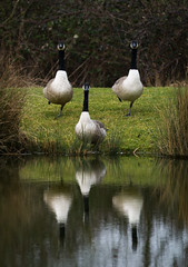 synchronised geese! (mark.abrams81) Tags: