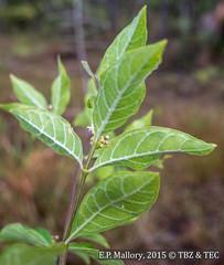 2015-02-20 TEC-0028 Morinda cf. royoc - E.P. Mallory (B Mlry) Tags: 2015 tec aggregatefruits belize belizedistrict belizezoo co5 clusteroraggregationofmanyripenedovariesfruitsproduced corolla flora idd leavesopposite leavesdistichous leaveswidernearmiddle lowlandsavanna morindaroyoc pinewoodlandfirebreaktrail rubiaceae stipules tbz tropicaleducationcenter apexacutetoattenuate axillaryinflorescences branchingdistinctive brochidodromousvenation caducousstipule collectingvein compactlyclustered crosssection erect flower flowerbuds foliage fruit fuzzystem glomerateinflorescence habitat hairypetals hairypetioles hairystem immaturefruit insitu inflorescence interpetiolarstipules intodensegrouporhead leafbasecuneateorattenuate leafveinsdepressedontop leafveinsswollenunderneath pinkbuds recentlyburned reddishtoredstem stem synmorindayucatanensis tallos tubularcorolla twigsterete type typicallysurroundingafleshystemaxis underneathleafhairy underneathleafhairyalongcosta veincoloration venation wavymargin whitepetals yellowgreenfruit democracia clusteroraggregationofmanyripenedovariesfruitsproducedfromasingleflower