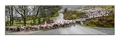 Vroom Vroom (Xmas 2017 #20) (Lazlo Woodbine) Tags: pentax 70300mm k7 christmas 2017 lakedistrict sheep