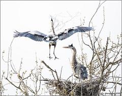Returning with the Goods (pandatub) Tags: ebparks ebparksok bird birds heron greatblueheron nest shadowcliffs