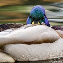 IRP - Mallard Drake At Rest_6544 (www.karltonhuberphotography.com) Tags: 2018 bird birdphotography calm content drake duck eyecontact iridescent irvineregionalpark karltonhuber lake mallard mallardanasplatyrhynchos napping nature outdoors peaceful pond resting southerncalifornia squareimage straighton twoeyes