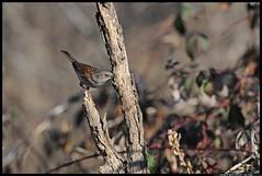 DSC_1333-03-08-1 - - passera scopaiola (r.zap) Tags: prunellamodularis passerascopaiola rzap parcodelticino