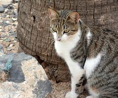 A PRETTY SAVEY MATURE STRAY CAT.   GOREE ISLAND,   SENEGAL,  AFRICA. (vermillion$baby) Tags: goreeisland animal cat senagal stray senegal africa dakar westafrica kitty eye portrait