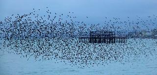 365 - Image 12 - Starling murmurations, Brighton...