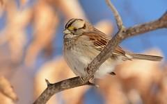 White-throated Sparrow (JDA-Wildlife) Tags: composition birds nikon nikond7100 tamronsp150600mmf563divc jdawildlife johnny portrait closeup eyecontact sparrows sparrowwhitethroated whitethroatedsparrow whatbirdbestofday wow gorgeous