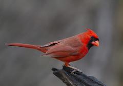Northern Cardinal, male (AllHarts) Tags: malenortherncardinal backyardbirds memphistn naturescarousel ngc naturesspirit thesunshinegroup