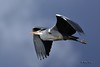 Grey Heron (Mike Slade.) Tags: greyheron ardeacinerea bird stovercountrypark newtonabbot devon ©mikeslade