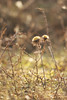 Driedistel - Carlina vulgaris - Carline Thistle (merijnloeve) Tags: driedistel carlina vulgaris carline thistle flora winter sun light berkheide k xiii zh vlaggenduin katwijk gemeente