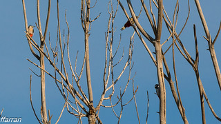 (Dendrocopos major)  Picot graser gros,  Pico picapinos,  Great Spotted Woodpecker.