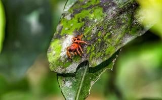 Phiale sp. - Phiale Jumping Spider (C.L. Koch, 1846)