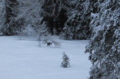 chamois (bulbocode909) Tags: valais suisse champexlac chamois montagnes nature hiver neige forêts arbres animaux