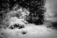 Snow Day (Colormaniac too - Many thanks for your visits!) Tags: snow snowday winter snowfall blackandwhite blackwhite monochrome landscape sequim olympicpeninsula washingtonstate pacificnorthwest topazstudio hss netartll