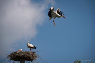 Weißstorch (Ciconia ciconia) im Anflug auf ein besetztes Nest 5