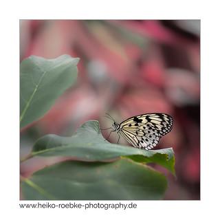 Weiße Baumnymphe (Idea leuconoe)