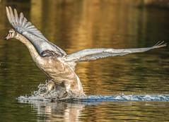 Young swan landing (ukmjk) Tags: young swan parkhall lake nikon nikkor d500 300mm f4 pf tc14e2 staffordshire stoke