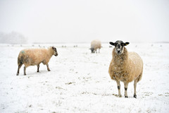 Sheep (Alex Hannam) Tags: snow winter weather sheep leicestershire
