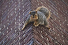 Harlan the Squirrel at the Hatcher Graduate Library at the University of Michigan (January 22nd, 2018) (cseeman) Tags: gobluesquirrels squirrels annarbor michigan animal campus universityofmichigan umsquirrels01222018 winter eating peanut januaryumsquirrel umsquirrel snowsquirrels snow snowy harlanhatchergraduatelibrary hatchergraduatelibrary harlanthesquirrel libraries harlansquirrel brick brickwall umharlan01222018
