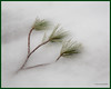 Frozen Tassles (gerilynns) Tags: pine tassles maine winter frozen sticks discarded ground green brown
