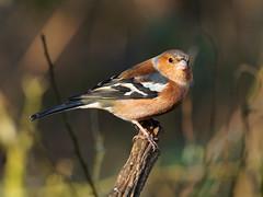 Chaffinch (martin_swatton) Tags: rspb blashford lakes hampshire uk birds wildlife olympus omd em1 mk1 mzuiko 300 f4 pro dxo