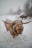 It's Nae Cold (Adam West Photography) Tags: adamwest animal blizzard cattle coo cow cute funny glasgow highland scotland storm winter