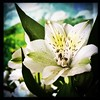 Another flower. #Takoma #dc #dclife #washingtondc #iphone #iPhonemacro #macro  #flower #flowersofinstagram (Kindle Girl) Tags: iphone takoma dc dclife washingtondc iphonemacro macro flower flowersofinstagram