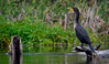 WAKULLA ANHINGA (EXPLORED) (Wolf Creek Carl) Tags: animals birds waterfowl anhinga snakebird green water river wildlife wakullariver florida nature