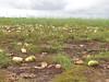 A watermelon field (USDAgov) Tags: farmserviceagency farmers watermelon crops texas hurricane