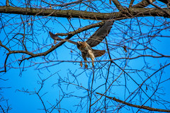 Hawk in flight (dxd379) Tags: nikon d7100 red tail branch flight wings