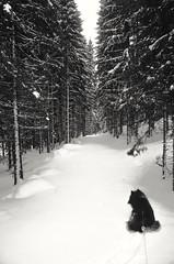 Finally down from the mountain (evakongshavn) Tags: winter winterwonderland winterwald winterlandscape new light white green tree forest wald foret snow neige dog dogsonadventures dogsthathike bnwphoto bnw bw blancoynegro blacknwhite blackandwhite blackwhite 7dwf