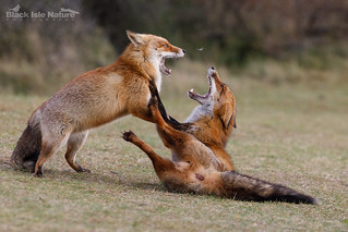Red foxes fighting.