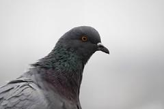 Eye of the killer - Columba livia (Carandoom) Tags: bird 2017 geneve switzerland pigeon columba livia oiseau animal ciel